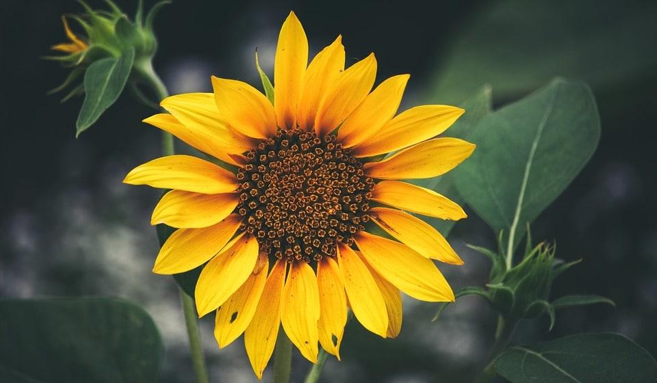 El girasol conquense en flor